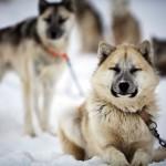 groenland-schlittenhunde